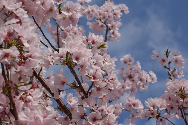 青空と桜色