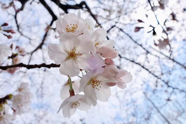 蕾付き桜2