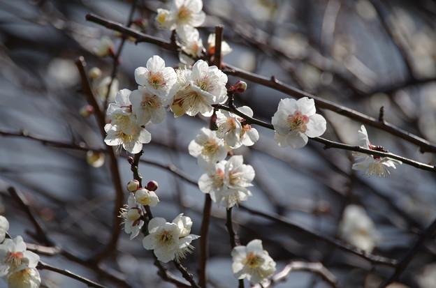 総持寺(鶴見)の梅