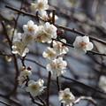 写真: 総持寺(鶴見)の梅
