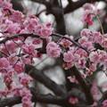 隅田公園の梅