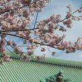 写真: 総持寺の桜