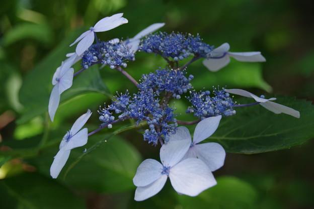 浄慶寺(柿生)の紫陽花