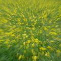 写真: 黄色の嵐