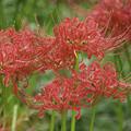 写真: 城ヶ島の彼岸花