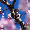 写真: あたみ桜とメジロ
