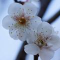 写真: 白梅開花