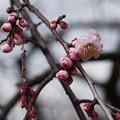 写真: 梅の開花