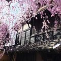 石橋屋のしだれ桜