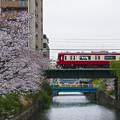 石崎川の桜