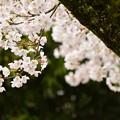 聚楽園 桜