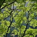 川面の煌めき 新緑
