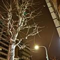都会の巨木