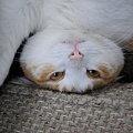 猫らしい猫