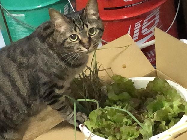 エシャレットが猫草がわり?