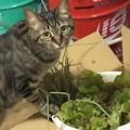 Photos: エシャレットが猫草がわり?