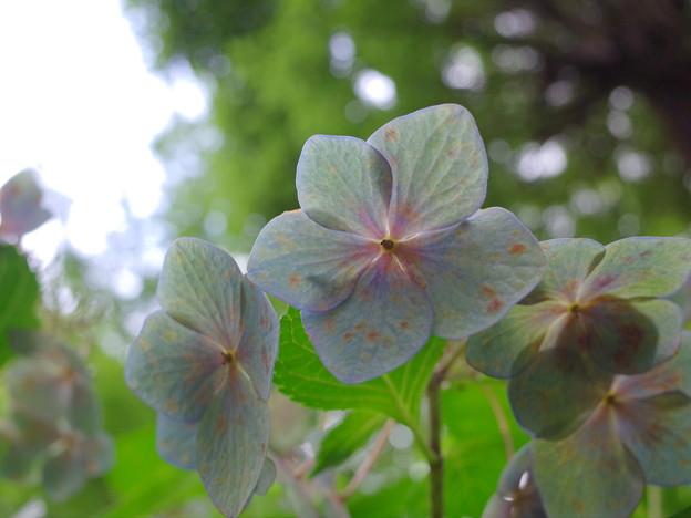 枯れ紫陽花2