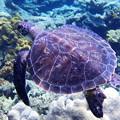 写真: アオウミガメ