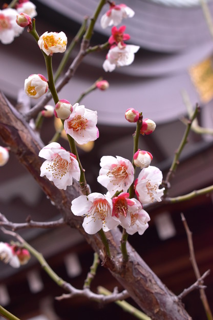 湯島天神の梅