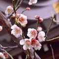 写真: 湯島天神の梅