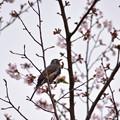 Photos: お花見ヒヨちゃん