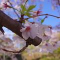 Photos: なごりの桜