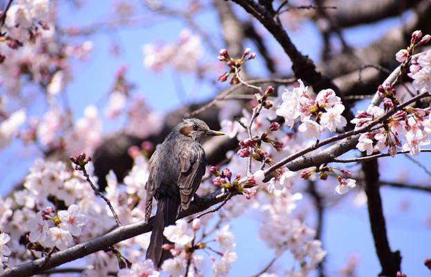 Photos: 桜ヒヨちゃん