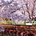 Photos: 赤錆線路と桜