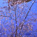 Photos: 水面の桜