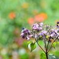 しおれ紫陽花