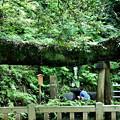 神泉の大木