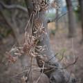 Photos: 枯葉の木