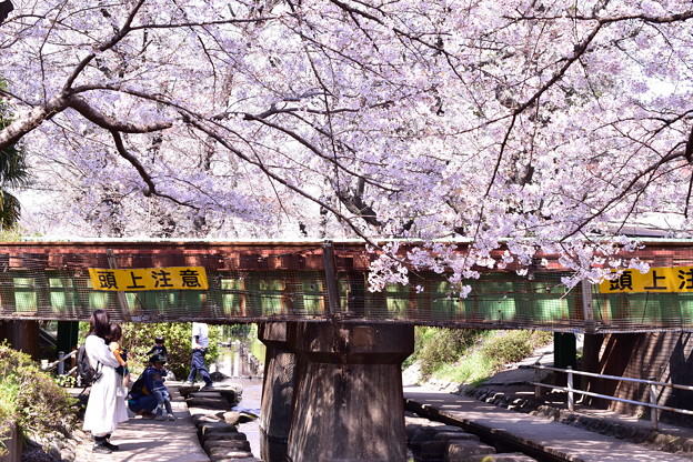 sakura線路