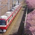 Photos: 京急 三浦海岸河津桜210223-3