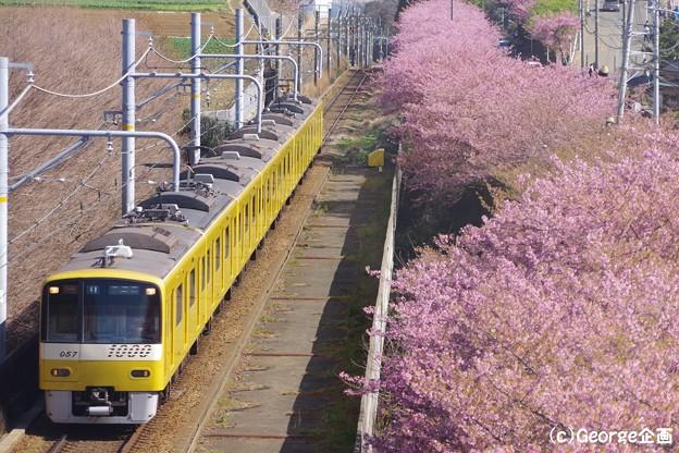 京急 三浦海岸河津桜210223-1