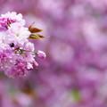 桜色々「関山」
