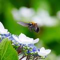 紫陽花&蜂