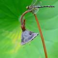 岡山後楽園の蜻蛉