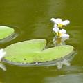 水辺に咲く花「ガガブタ」