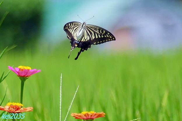 蝶の舞 NO.4