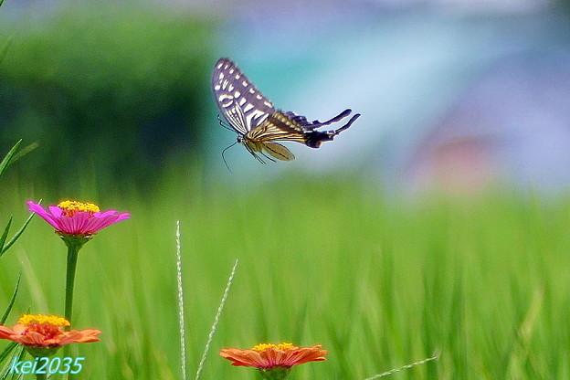 蝶の舞 NO.2