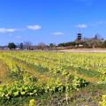 写真: 菜の花&五重塔