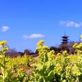 Photos: 菜の花&五重塔