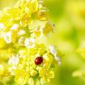 写真: テントウムシ&菜の花