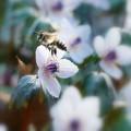 写真: セツブン草&蜂
