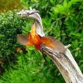 写真: カワセミのダイブNO.1