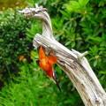 写真: カワセミのダイブNO.2