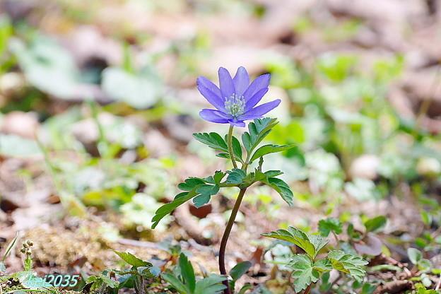 写真: 森林公園の花々「キクザキイチゲ」