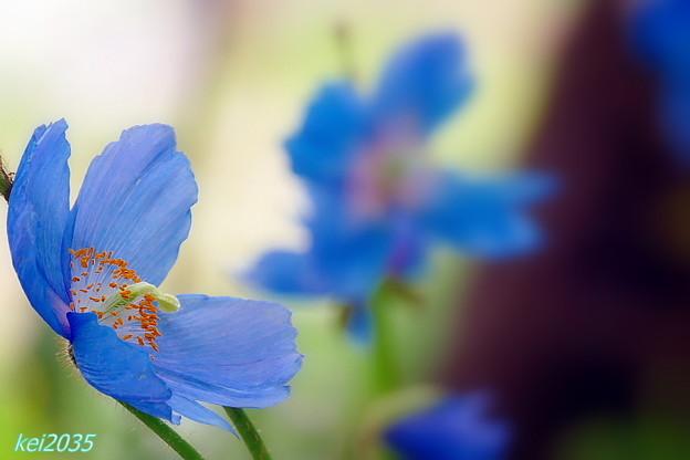 「 天上の妖精」青いヒマラヤケシ