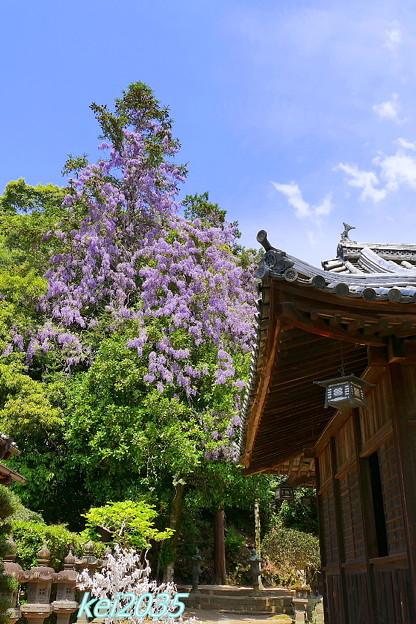 由加神社の藤の花